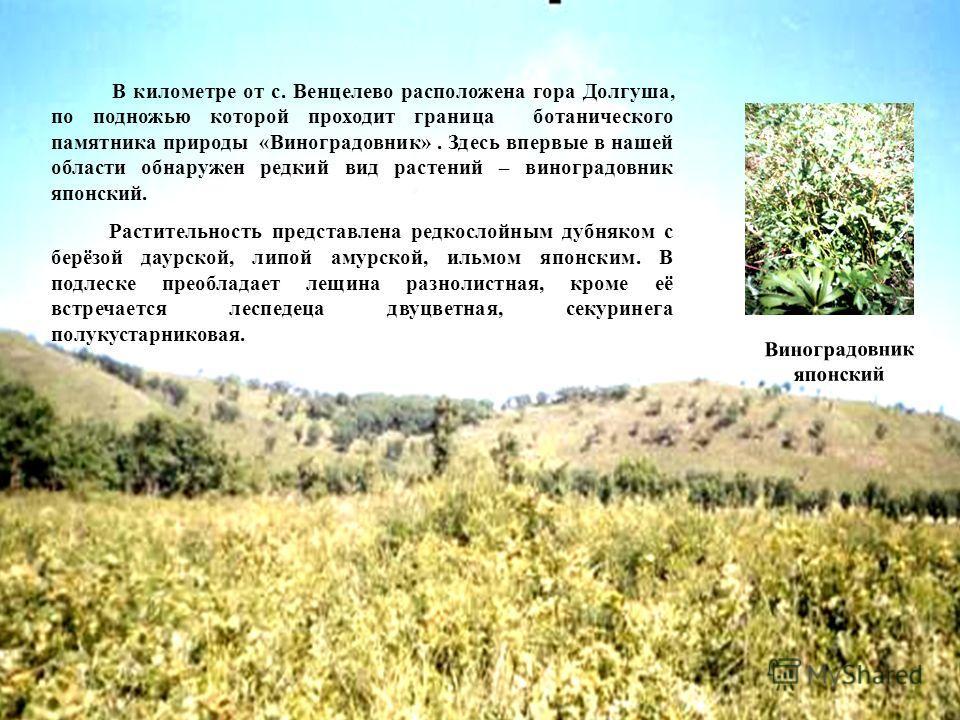 В километре от с. Венцелево расположена гора Долгуша, по подножью которой проходит граница ботанического памятника природы «Виноградовник». Здесь впервые в нашей области обнаружен редкий вид растений – виноградовник японский. Растительность представл