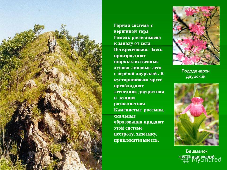 Рододендрон даурский Башмачок крупноцветковый Горная система с вершиной гора Гомель расположена к западу от села Воскресеновка. Здесь произрастают широколиственные дубово-липовые леса с берёзой даурской. В кустарниковом ярусе преобладают леспедица дв