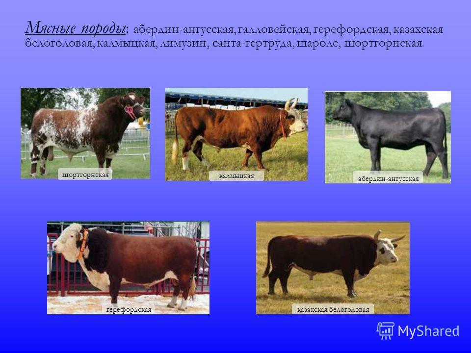 Мясные породы : абердин-ангусская, галловейская, герефордская, казахская белоголовая, калмыцкая, лимузин, санта-гертруда, шароле, шортгорнская. шортгорнская абердин-ангусская герефордская калмыцкая казахская белоголовая
