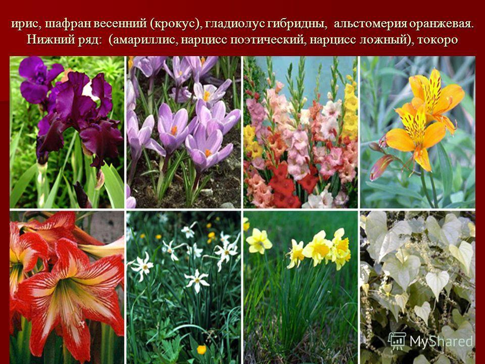 ирис, шафран весенний (крокус), гладиолус гибридны, альстомерия оранжевая. Нижний ряд: (амариллис, нарцисс поэтический, нарцисс ложный), токоро