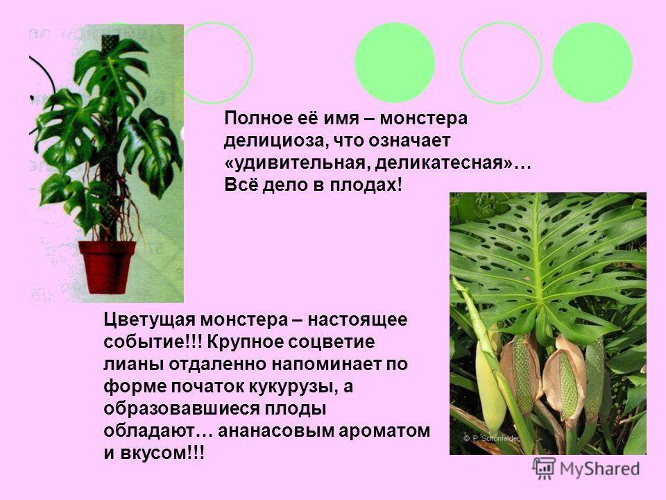 Полное её имя – монстера делициоза, что означает «удивительная, деликатесная»… Всё дело в плодах! Цветущая монстера – настоящее событие!!! Крупное соцветие лианы отдаленно напоминает по форме початок кукурузы, а образовавшиеся плоды обладают… ананасо