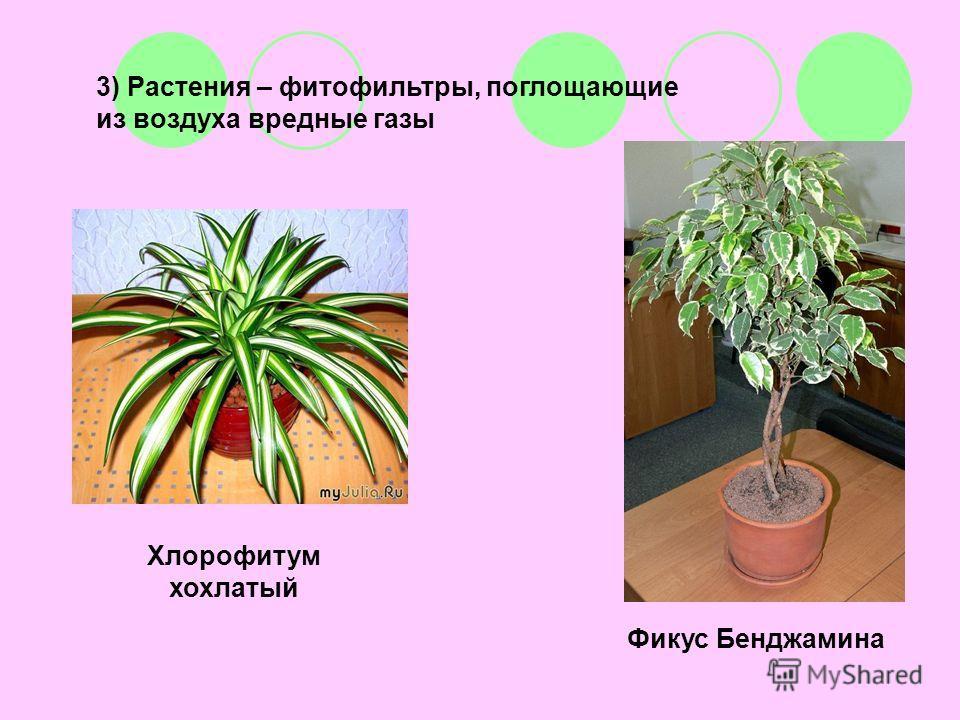 3) Растения – фитофильтры, поглощающие из воздуха вредные газы Хлорофитум хохлатый Фикус Бенджамина