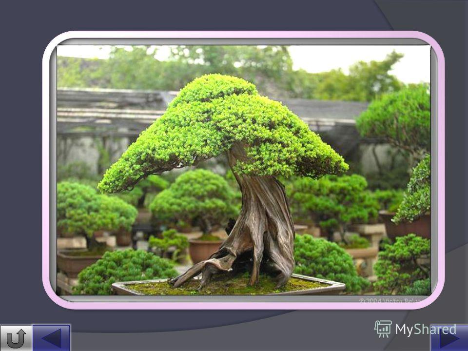 Бонса́й (яп. букв. «растение в горшке») искусство выращивания точной копии настоящего дерева в миниатюре. Слово «бонсай» происходит от китайского «пэнь-цай». Возникло искусство в 231 году до н. э. в Китае. Первые достоверные письменные источники, кас