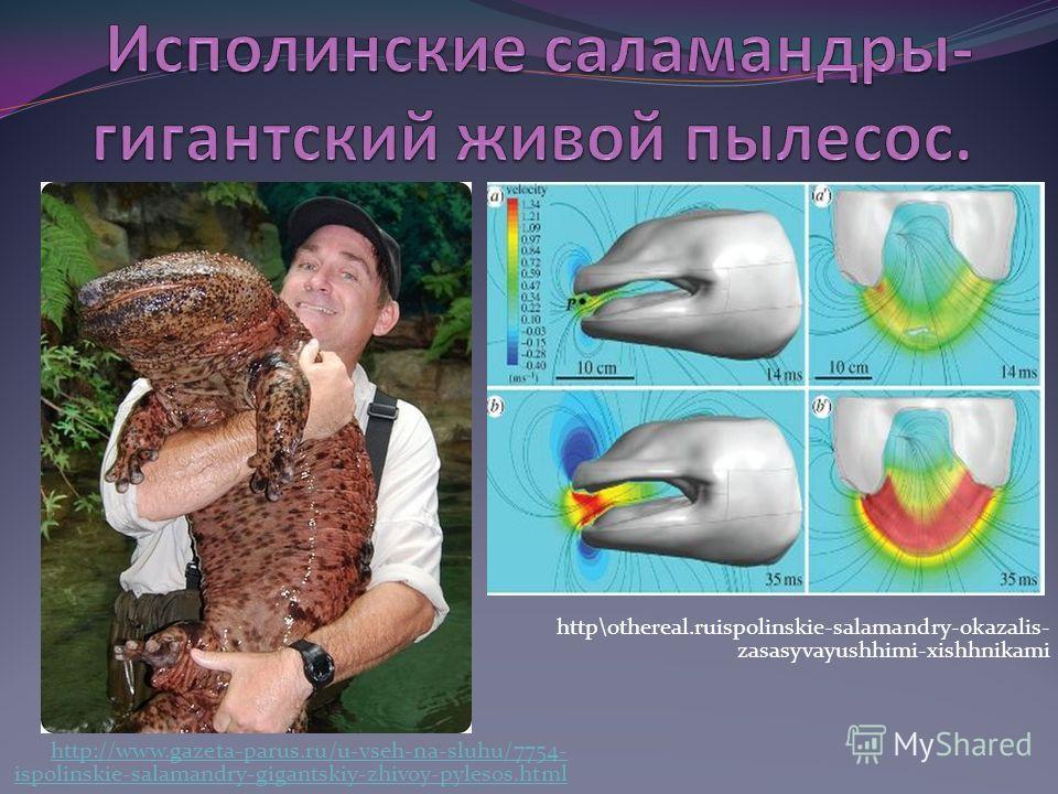 http://www.gazeta-parus.ru/u-vseh-na-sluhu/7754- ispolinskie-salamandry-gigantskiy-zhivoy-pylesos.html http\othereal.ruispolinskie-salamandry-okazalis- zasasyvayushhimi-xishhnikami