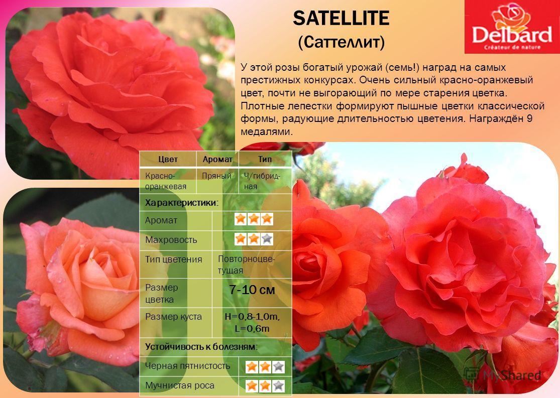 У этой розы богатый урожай (семь!) наград на самых престижных конкурсах. Очень сильный красно-оранжевый цвет, почти не выгорающий по мере старения цветка. Плотные лепестки формируют пышные цветки классической формы, радующие длительностью цветения. Н