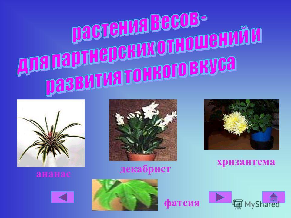 ананас декабрист хризантема фатсия