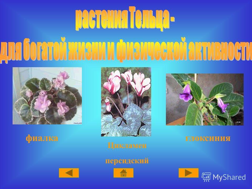 Цикламен персидский глоксинияфиалка