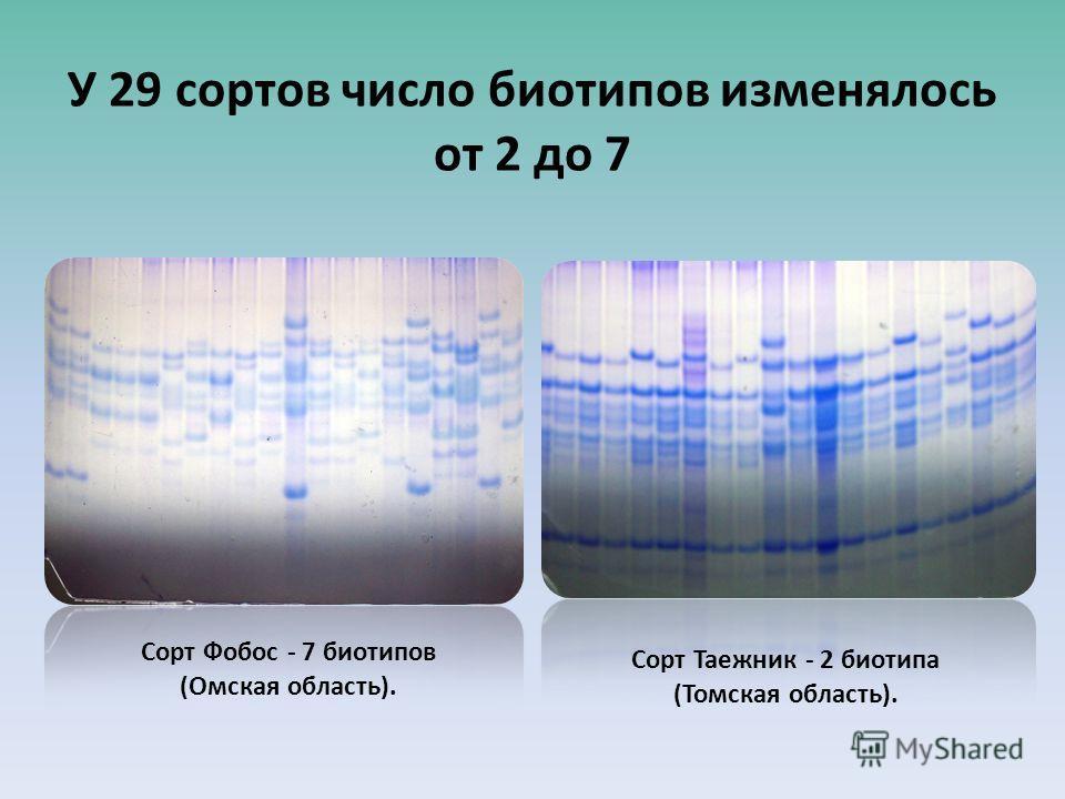 У 29 сортов число биотипов изменялось от 2 до 7 Сорт Фобос - 7 биотипов (Омская область). Сорт Таежник - 2 биотипа (Томская область).