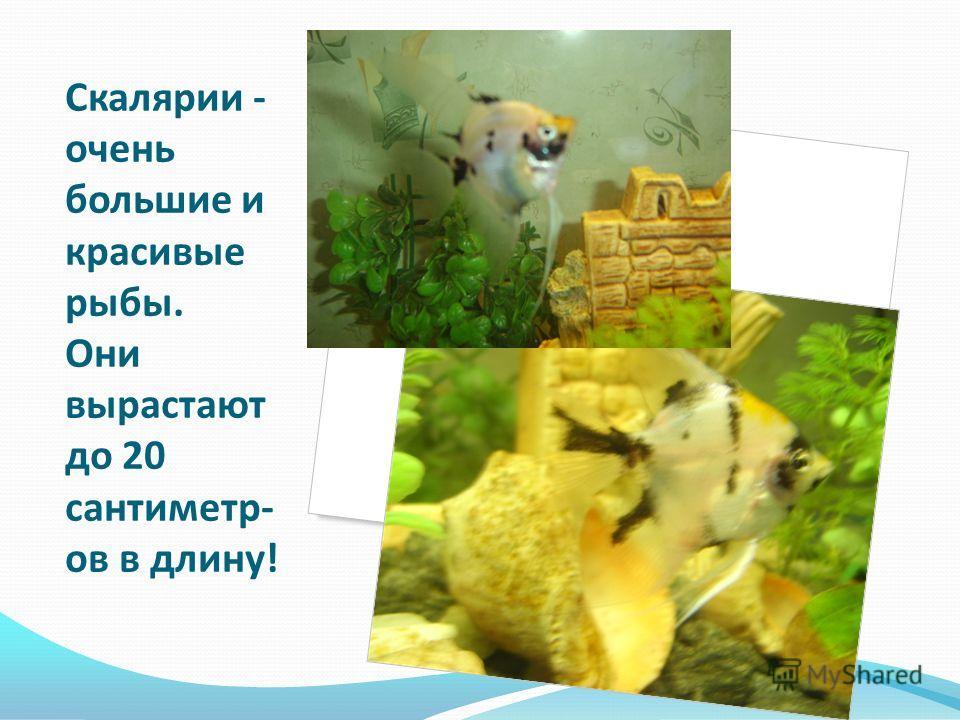 Скалярии - очень большие и красивые рыбы. Они вырастают до 20 сантиметр- ов в длину!