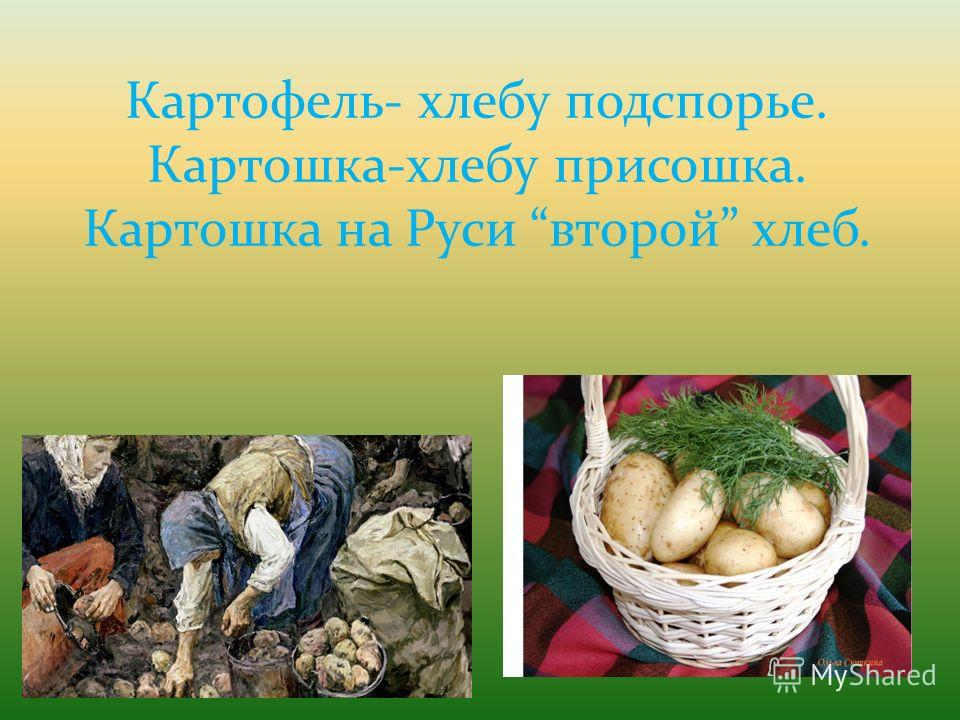 Картофель- хлебу подспорье. Картошка-хлебу присошка. Картошка на Руси второй хлеб.