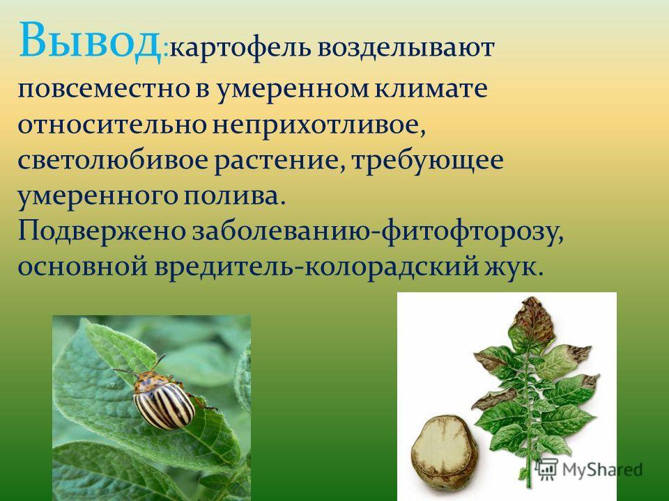 Вывод :картофель возделывают повсеместно в умеренном климате относительно неприхотливое, светолюбивое растение, требующее умеренного полива. Подвержено заболеванию-фитофторозу, основной вредитель-колорадский жук.