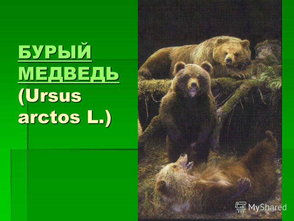 БУРЫЙ МЕДВЕДЬ БУРЫЙ МЕДВЕДЬ (Ursus arctos L.) БУРЫЙ МЕДВЕДЬ