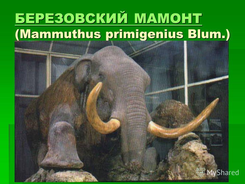 БЕРЕЗОВСКИЙ МАМОНТ БЕРЕЗОВСКИЙ МАМОНТ (Mammuthus primigenius Blum.) БЕРЕЗОВСКИЙ МАМОНТ