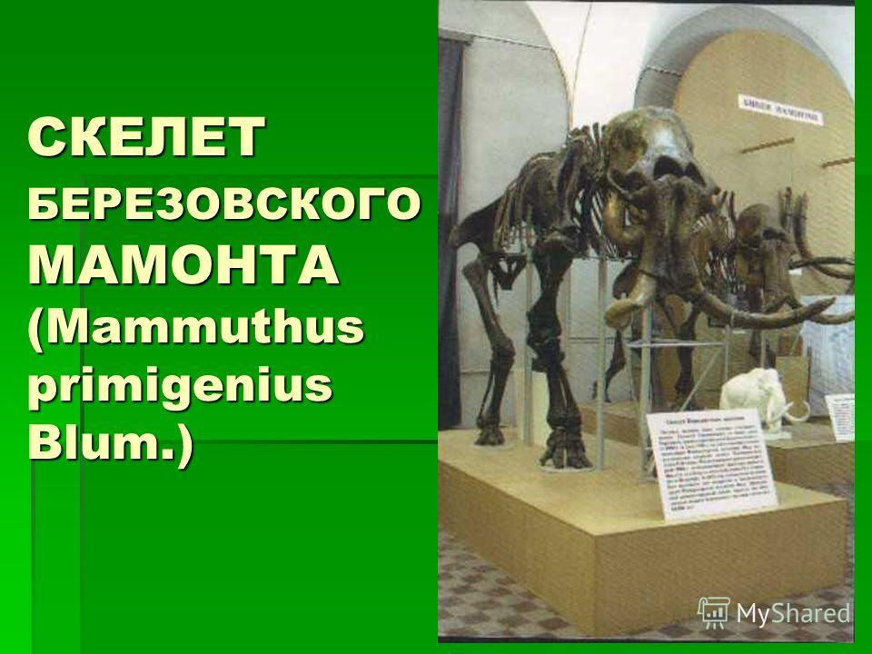 СКЕЛЕТ БЕРЕЗОВСКОГО МАМОНТА (Mammuthus primigenius Blum.)