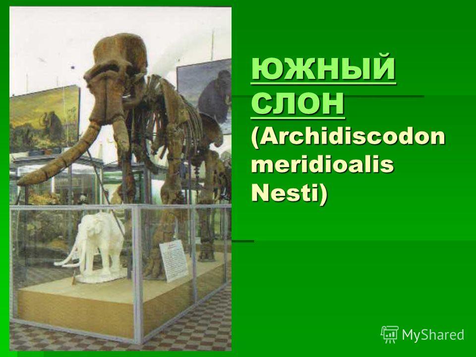 ЮЖНЫЙ СЛОН ЮЖНЫЙ СЛОН (Archidiscodon meridioalis Nesti) ЮЖНЫЙ СЛОН