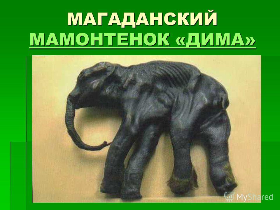 МАГАДАНСКИЙ МАМОНТЕНОК «ДИМА» МАМОНТЕНОК «ДИМА» МАМОНТЕНОК «ДИМА»