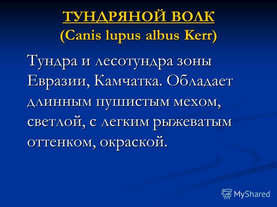 ТУНДРЯНОЙ ВОЛК ТУНДРЯНОЙ ВОЛК (Canis lupus albus Kerr) ТУНДРЯНОЙ ВОЛК Тундра и лесотундра зоны Евразии, Камчатка. Обладает длинным пушистым мехом, светлой, с легким рыжеватым оттенком, окраской.