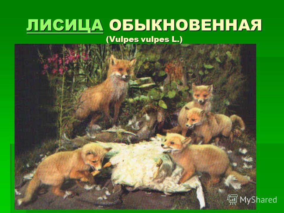 ЛИСИЦАЛИСИЦА ОБЫКНОВЕННАЯ (Vulpes vulpes L.) ЛИСИЦА
