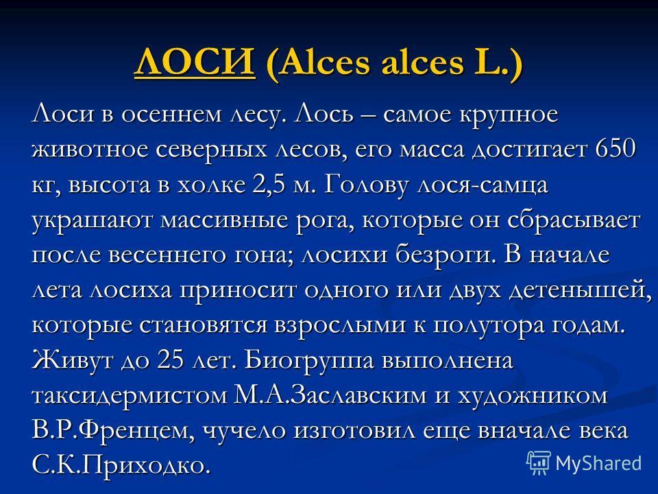 ЛОСИЛОСИ (Alces alces L.) ЛОСИ Лоси в осеннем лесу. Лось – самое крупное животное северных лесов, его масса достигает 650 кг, высота в холке 2,5 м. Голову лося-самца украшают массивные рога, которые он сбрасывает после весеннего гона; лосихи безроги.
