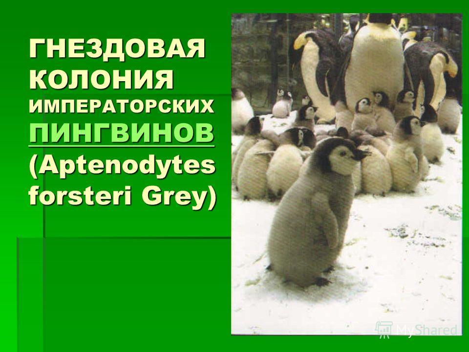 ГНЕЗДОВАЯ КОЛОНИЯ ИМПЕРАТОРСКИХ ПИНГВИНОВ (Aptenodytes forsteri Grey) ПИНГВИНОВ