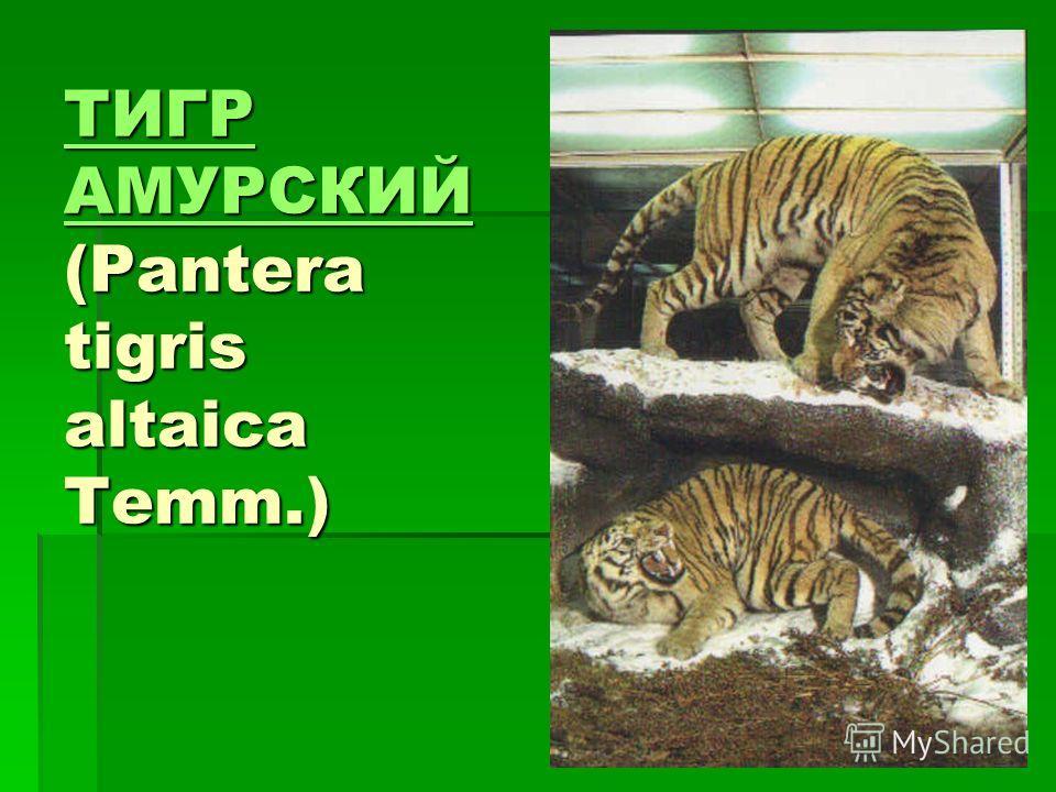 ТИГР АМУРСКИЙ ТИГР АМУРСКИЙ (Pantera tigris altaica Temm.) ТИГР АМУРСКИЙ