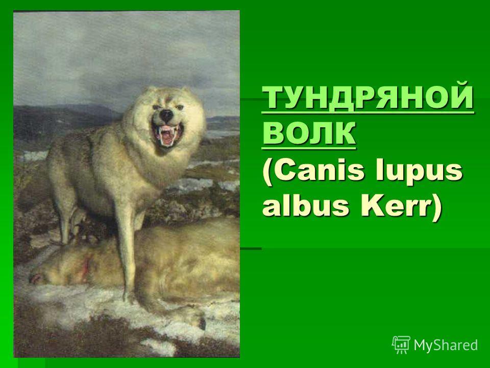 ТУНДРЯНОЙ ВОЛК ТУНДРЯНОЙ ВОЛК (Canis lupus albus Kerr) ТУНДРЯНОЙ ВОЛК