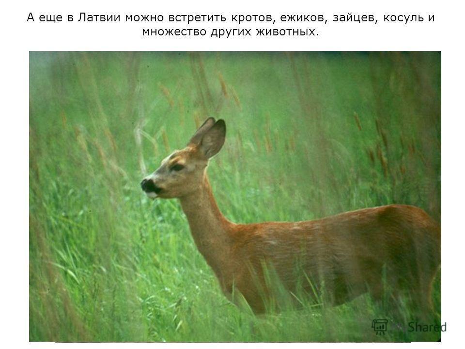 А еще в Латвии можно встретить кротов, ежиков, зайцев, косуль и множество других животных.