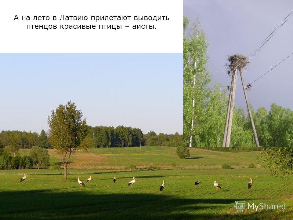 А на лето в Латвию прилетают выводить птенцов красивые птицы – аисты.