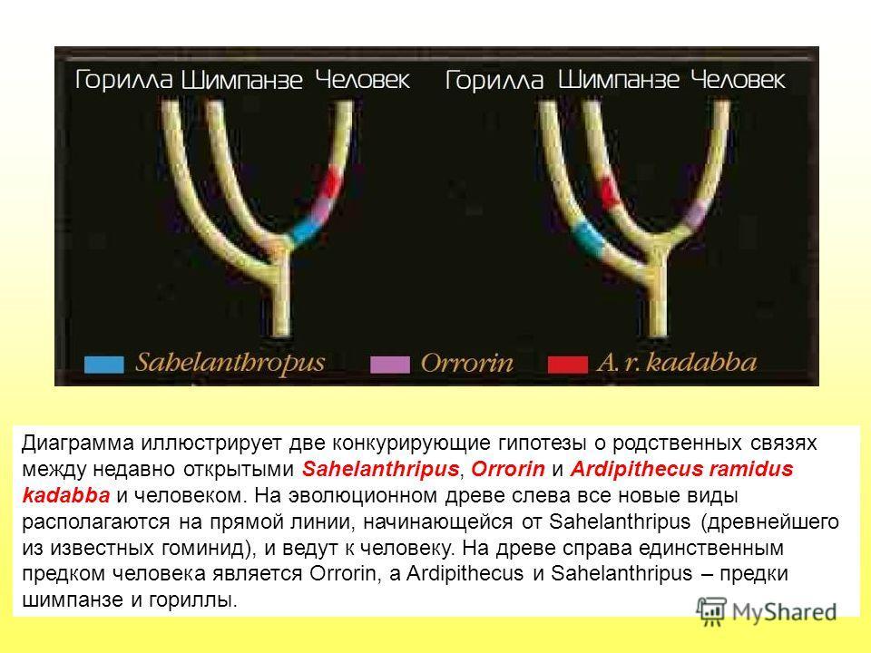Диаграмма иллюстрирует две конкурирующие гипотезы о родственных связях между недавно открытыми Sahelanthripus, Orrorin и Ardipithecus ramidus kadabba и человеком. На эволюционном древе слева все новые виды располагаются на прямой линии, начинающейся