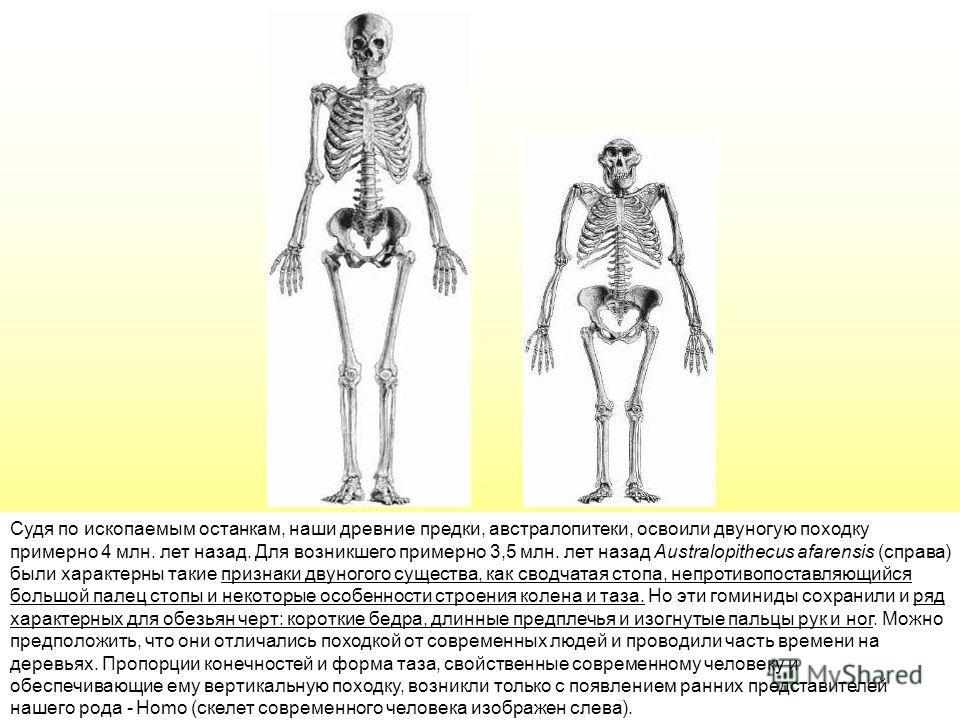 Судя по ископаемым останкам, наши древние предки, австралопитеки, освоили двуногую походку примерно 4 млн. лет назад. Для возникшего примерно 3,5 млн. лет назад Аustralopithecus afarensis (справа) были характерны такие признаки двуногого существа, ка