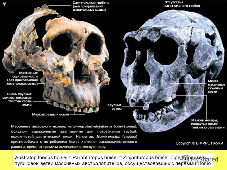 Australopithecus boisei = Paranthropus boisei = Zinjanthropus boisei. Представитель тупиковой ветви массивных австралопитеков, сосуществовавших с первыми Homo