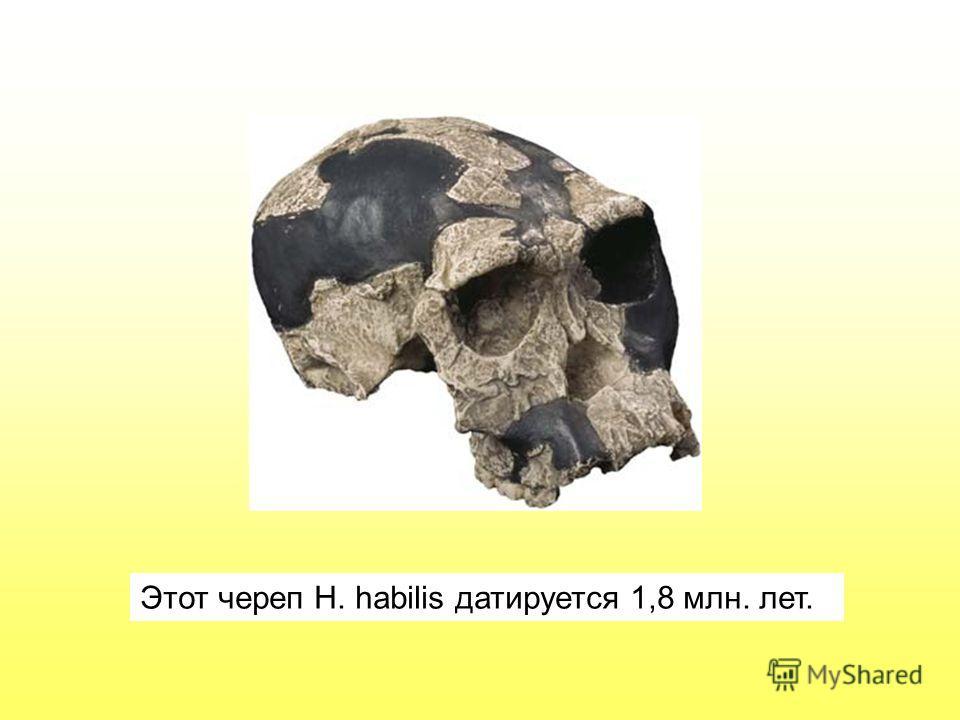 Этот череп H. habilis датируется 1,8 млн. лет.
