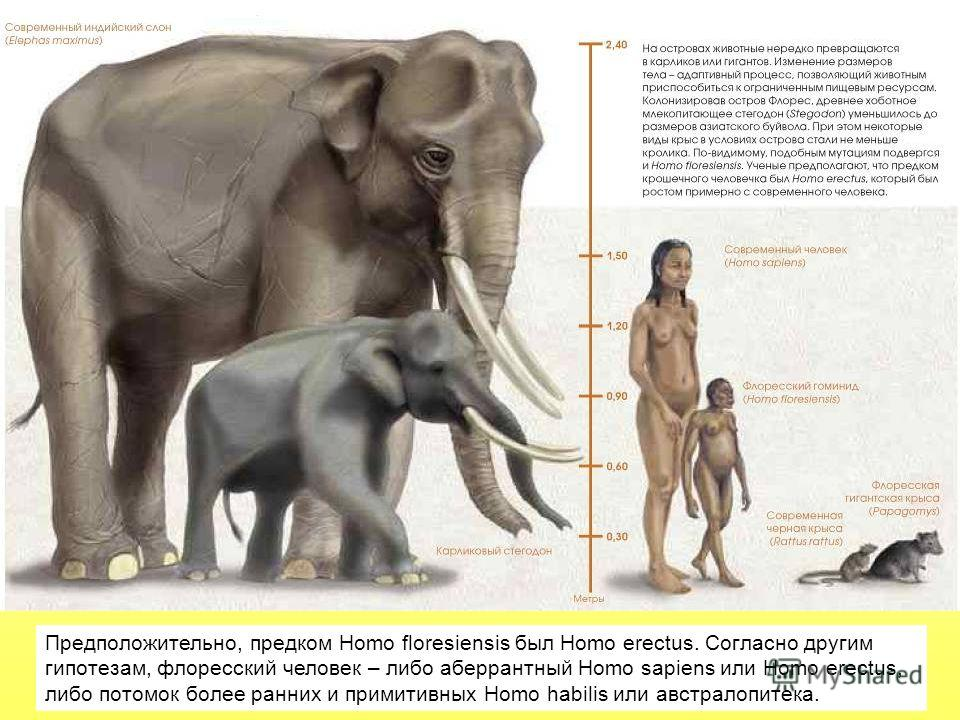 Предположительно, предком Homo floresiensis был Homo erectus. Согласно другим гипотезам, флоресский человек – либо аберрантный Homo sapiens или Homo erectus, либо потомок более ранних и примитивных Homo habilis или австралопитека.