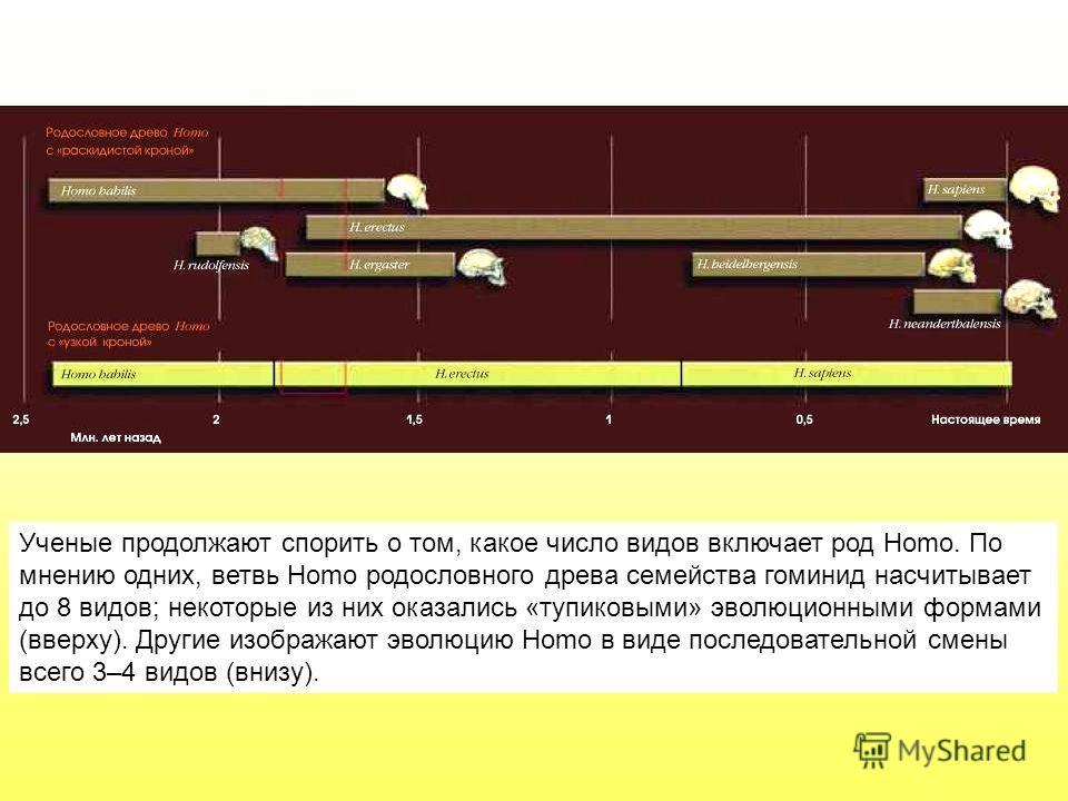 Ученые продолжают спорить о том, какое число видов включает род Homo. По мнению одних, ветвь Homo родословного древа семейства гоминид насчитывает до 8 видов; некоторые из них оказались «тупиковыми» эволюционными формами (вверху). Другие изображают э