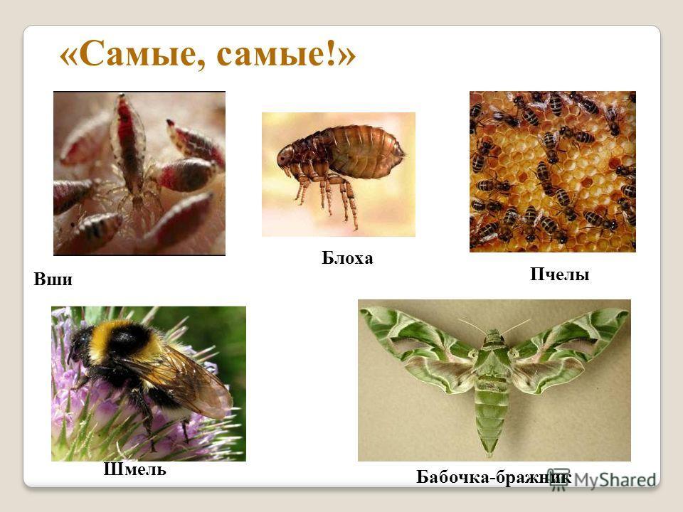 Вши «Самые, самые!» Блоха Пчелы Бабочка-бражник Шмель
