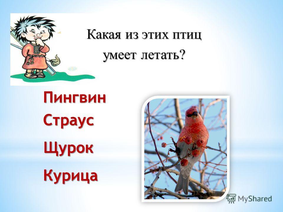 Какая из этих птиц умеет летать? ПингвинСтраусКурица Щурок