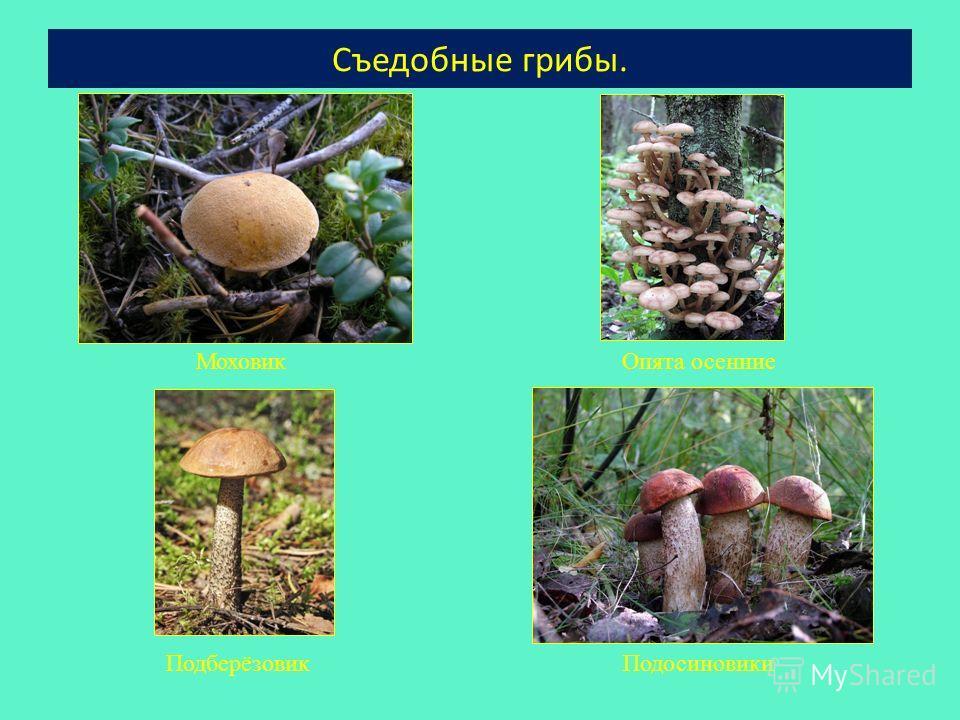 Съедобные грибы. МоховикОпята осенние ПодберёзовикПодосиновики