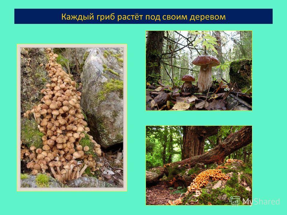 Каждый гриб растёт под своим деревом