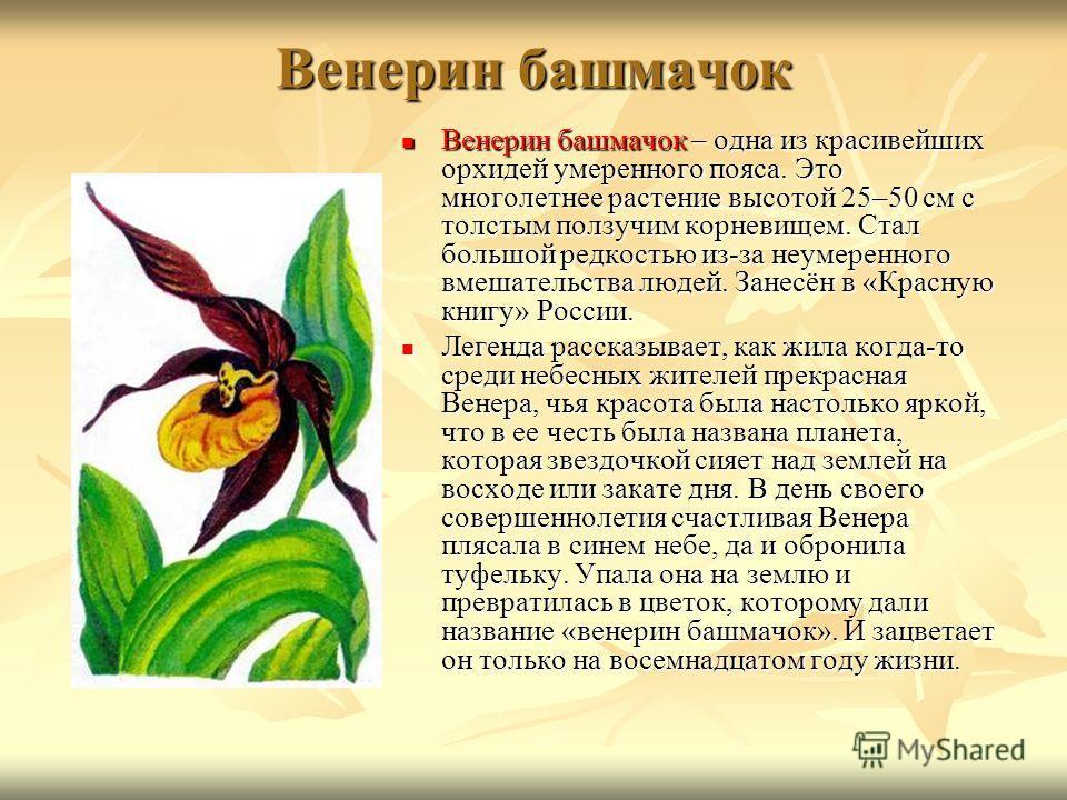 Венерин башмачок Венерин башмачок – одна из красивейших орхидей умеренного пояса. Это многолетнее растение высотой 25–50 см с толстым ползучим корневищем. Стал большой редкостью из-за неумеренного вмешательства людей. Занесён в «Красную книгу» России