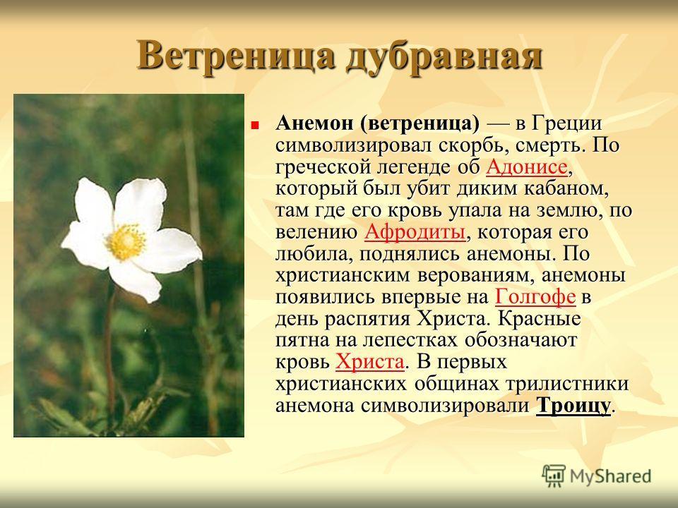 Ветреница дубравная Анемон (ветреница) в Греции символизировал скорбь, смерть. По греческой легенде об Адонисе, который был убит диким кабаном, там где его кровь упала на землю, по велению Афродиты, которая его любила, поднялись анемоны. По христианс