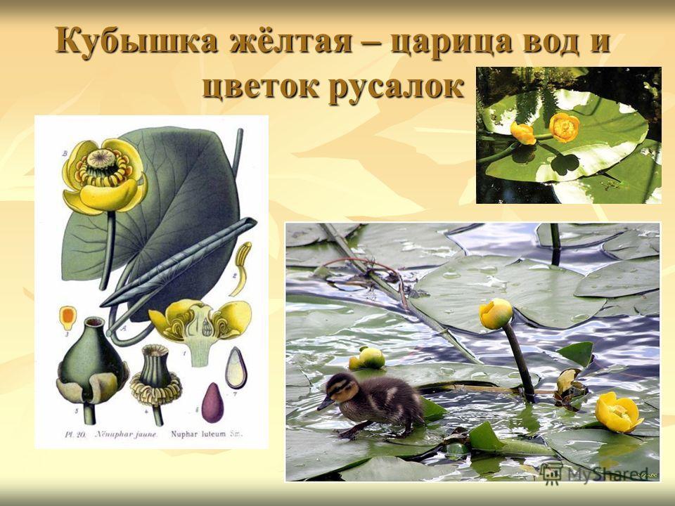 Кубышка жёлтая – царица вод и цветок русалок