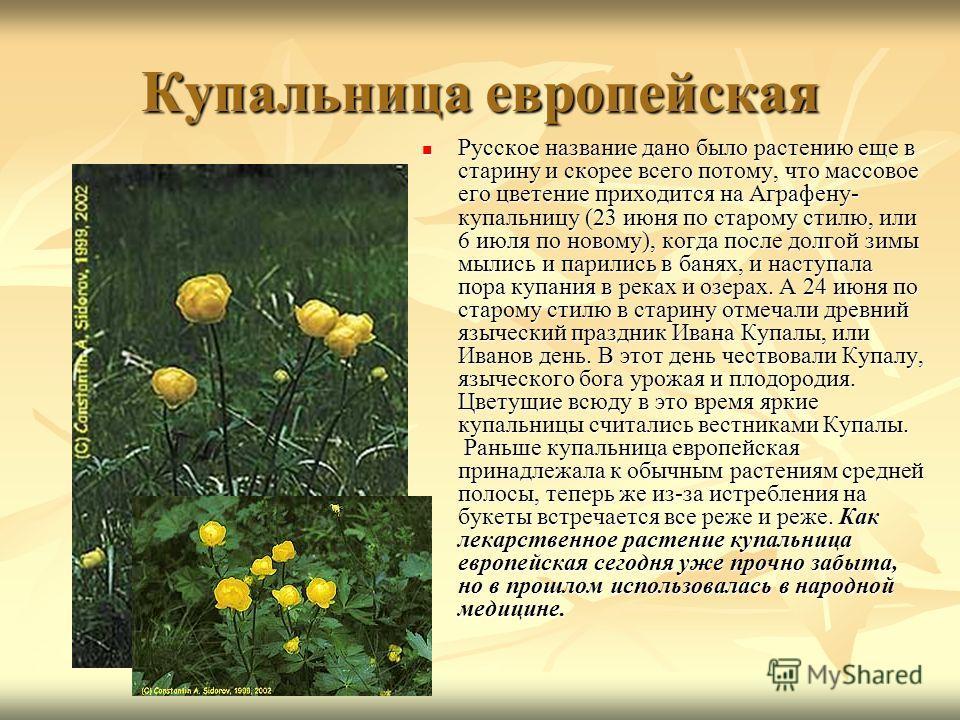 Купальница европейская Русское название дано было растению еще в старину и скорее всего потому, что массовое его цветение приходится на Аграфену- купальницу (23 июня по старому стилю, или 6 июля по новому), когда после долгой зимы мылись и парились в