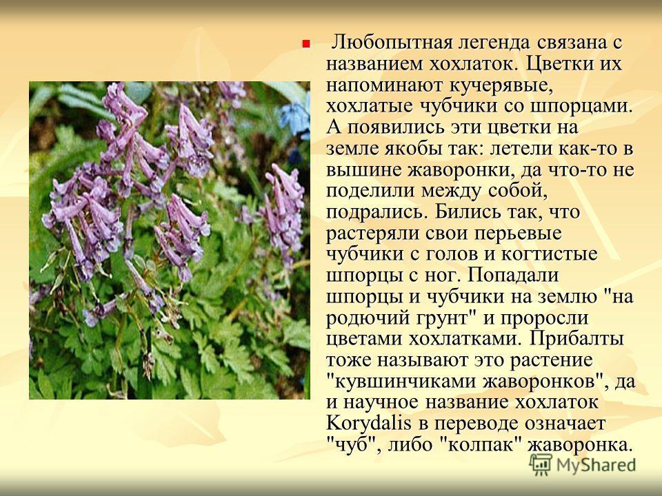 Любопытная легенда связана с названием хохлаток. Цветки их напоминают кучерявые, хохлатые чубчики со шпорцами. А появились эти цветки на земле якобы так: летели как-то в вышине жаворонки, да что-то не поделили между собой, подрались. Бились так, что
