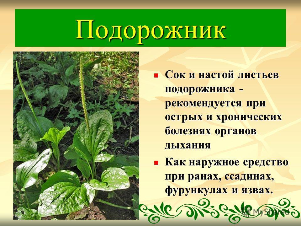 Подорожник Сок и настой листьев подорожника - рекомендуется при острых и хронических болезнях органов дыхания Сок и настой листьев подорожника - рекомендуется при острых и хронических болезнях органов дыхания Как наружное средство при ранах, ссадинах