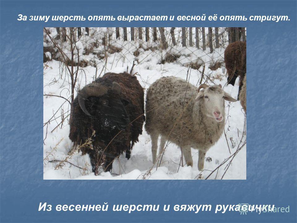 За зиму шерсть опять вырастает и весной её опять стригут. Из весенней шерсти и вяжут рукавички