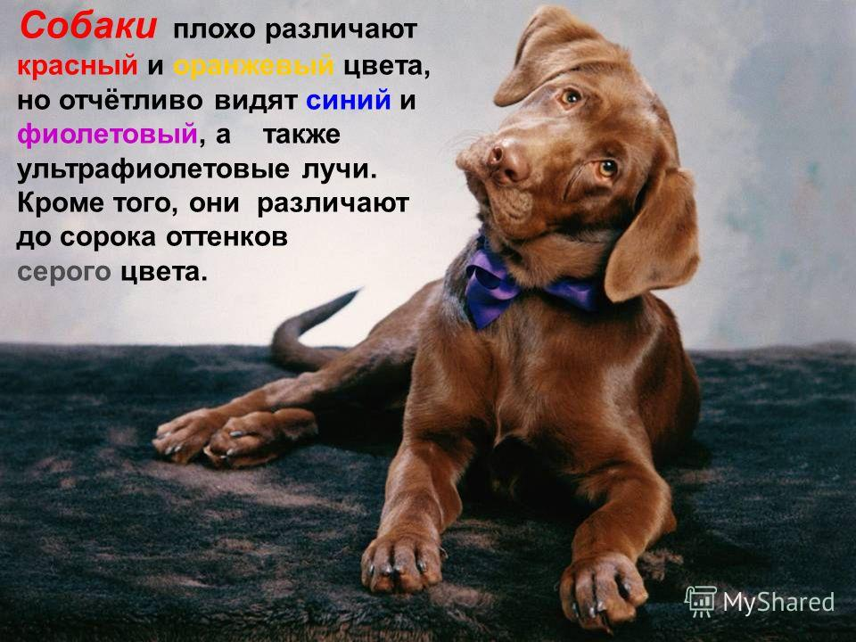 Собаки плохо различают красный и оранжевый цвета, но отчётливо видят синий и фиолетовый, а также ультрафиолетовые лучи. Кроме того, они различают до сорока оттенков серого цвета.