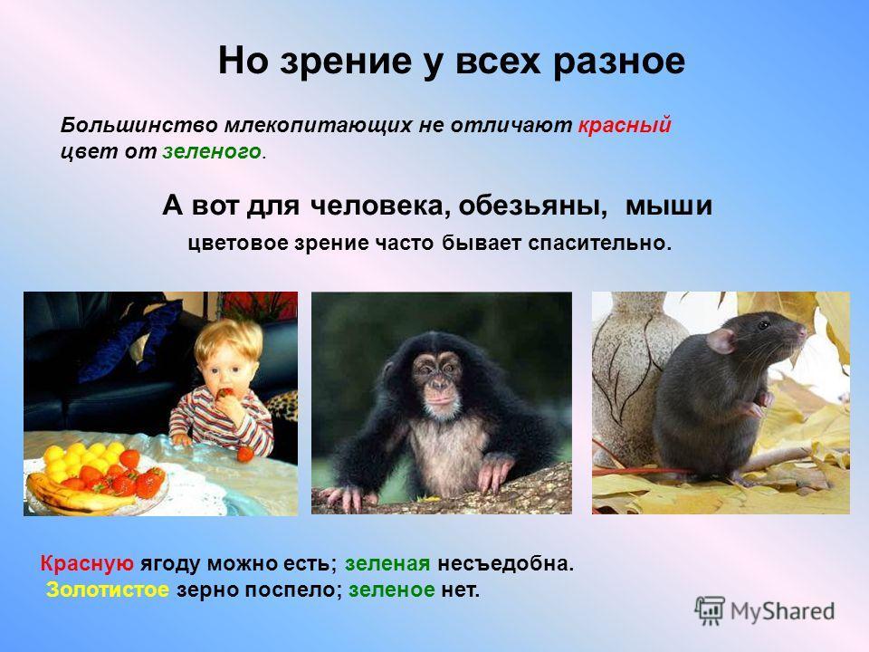 Большинство млекопитающих не отличают красный цвет от зеленого. Но зрение у всех разное А вот для человека, обезьяны, мыши цветовое зрение часто бывает спасительно. Красную ягоду можно есть; зеленая несъедобна. Золотистое зерно поспело; зеленое нет.