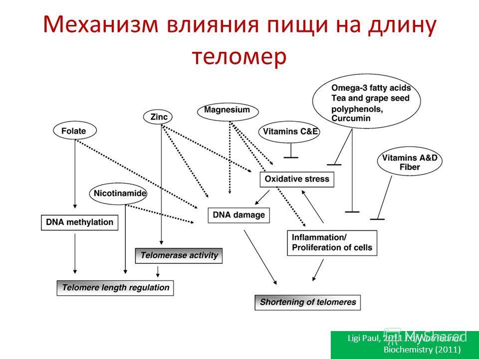 Механизм влияния пищи на длину теломер Ligi Paul, 2011 J.of Nutritional Biochemistry (2011)