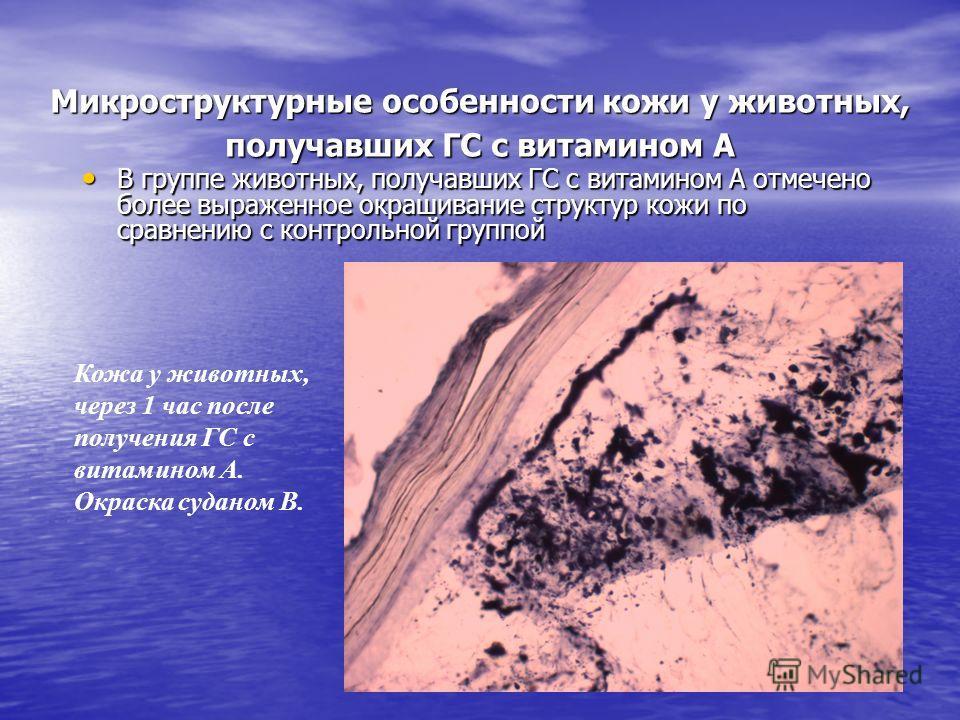 Микроструктурные особенности кожи у животных, получавших ГС с витамином А В группе животных, получавших ГС с витамином А отмечено более выраженное окрашивание структур кожи по сравнению с контрольной группой В группе животных, получавших ГС с витамин