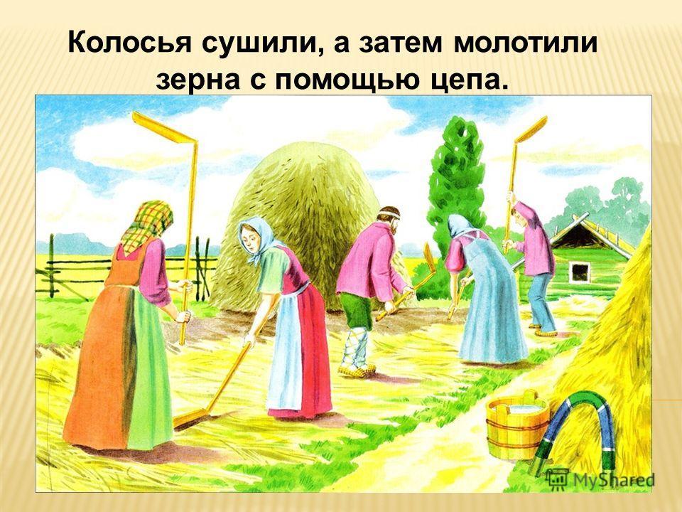 Колосья сушили, а затем молотили зерна с помощью цепа.